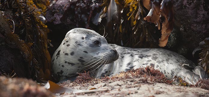 Coquille Point Harbor Seal